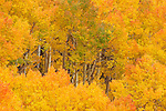 Aspens ,Populus tremuloides, in their autumn glory. Western USA.