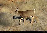 Mule Deer Fawn in Winter, Black-tailed Deer, Odocoileus hemionus, Sunrise Point, Bryce Canyon National Park, Utah