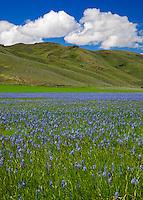 Camas County, Idaho<br /> Centennial Marsh Camas Prairie, Camas (Camassia quamash) expanse blooming under green rolling hills with  cumulus clouds