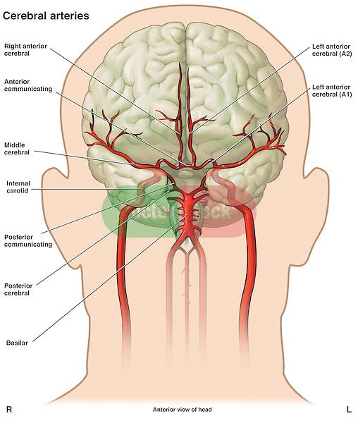 Anatomy Of The Cerebral Vasculature Doctor Stock