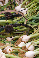 Garlic Allium sativum with stems attached, wrought iron wagon wheel - white garlic