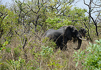 UGANDA, Karuma Game reserve, Elephant / Karuma nationalpark, Elefant