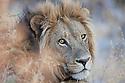Botswana, Okavango Delta, Moremi; male lion portrait