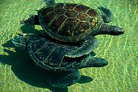 green sea turtles, Chelonia mydas, captive, San Diego, California, USA, Pacific Ocean