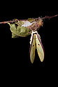 Indian Moon Moth / Indian Luna Moth {Actias selen} emerging from cocoon.  Captive. Sequence 12 of 24. website
