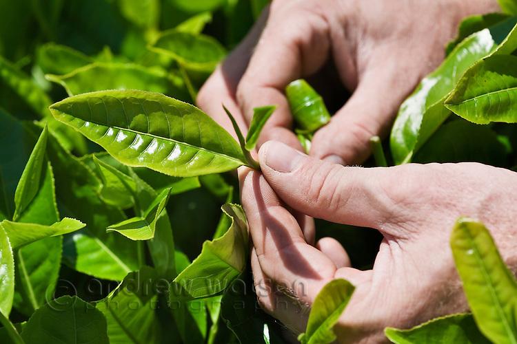 From the Source - Nerada Tea Plantation