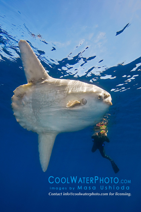 ocean sunfish, Mola mola, and diver with underwater video housing, off San Diego, California, East Paficic Ocean