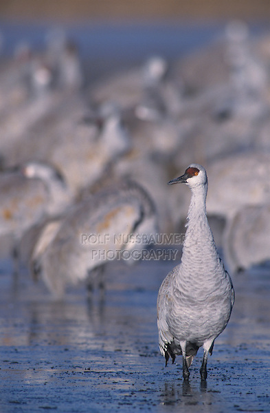 Sandhill Crane, Grus canadensis,group at roosting place, Bosque del Apache National Wildlife Refuge , New Mexico, USA