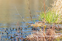 00685-00605 American Bittern (Botaurus lentiginosus) eating tadpole in wetland Marion Co. IL