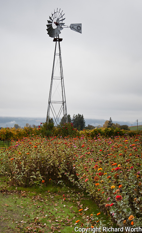 Even in mid-November flowers still bloom under a windmill in California's wine country in the Napa Valley.