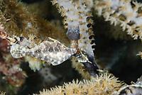 Slender filefish, Monacanthus tuckeri, Bonaire, Caribbean Netherlands, Caribbean