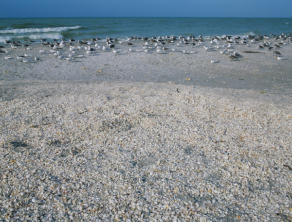 Seabirds on shell covered beach, Sanibel Island, Florida, December 1998