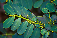 Akoko (Chamaesyce celastroides) is a coastal shrub with milky sap (like other Euphorbs), common at Kilauea Point Natioanl Wildlife Refuge.