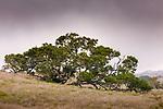 Koa (Acacia koa), Hawai'i, USA