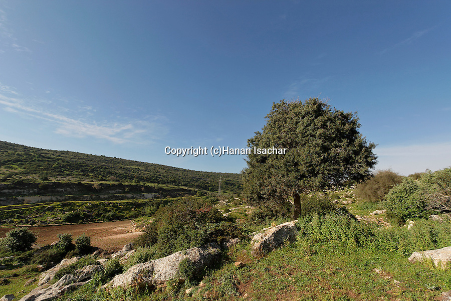 Israel, the Lower Galilee. Mastic Tree (Pistacia Lentiscus) in Hurbat Mamlach