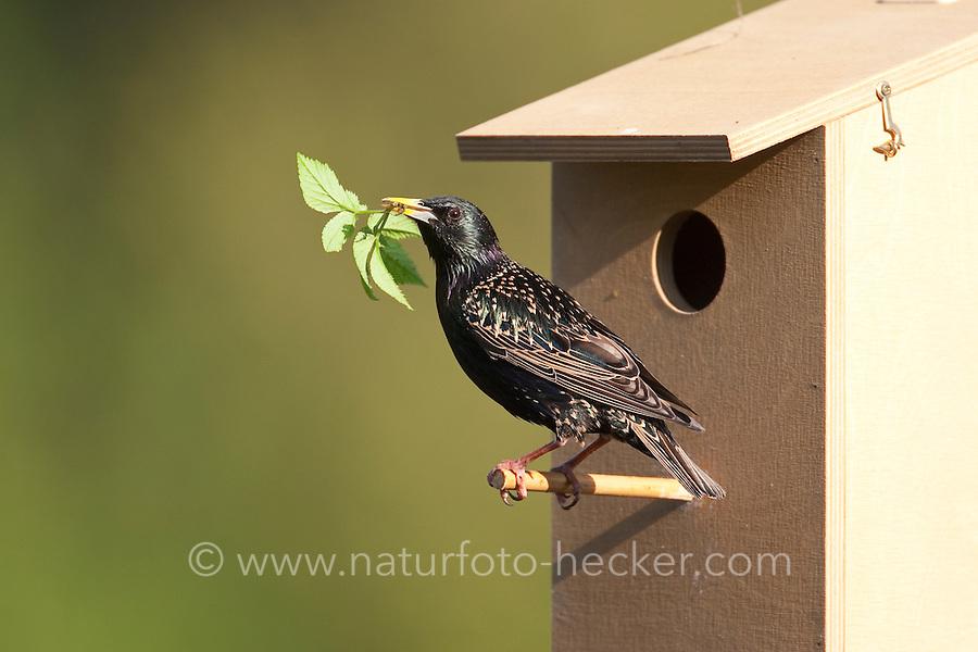 Star mit einem Gierschblatt als Nistmaterial am Nistkasten, Nestbau, Sturnus vulgaris, European starling