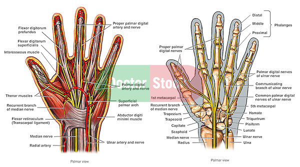 Anatomy Of The Hand Doctor Stock