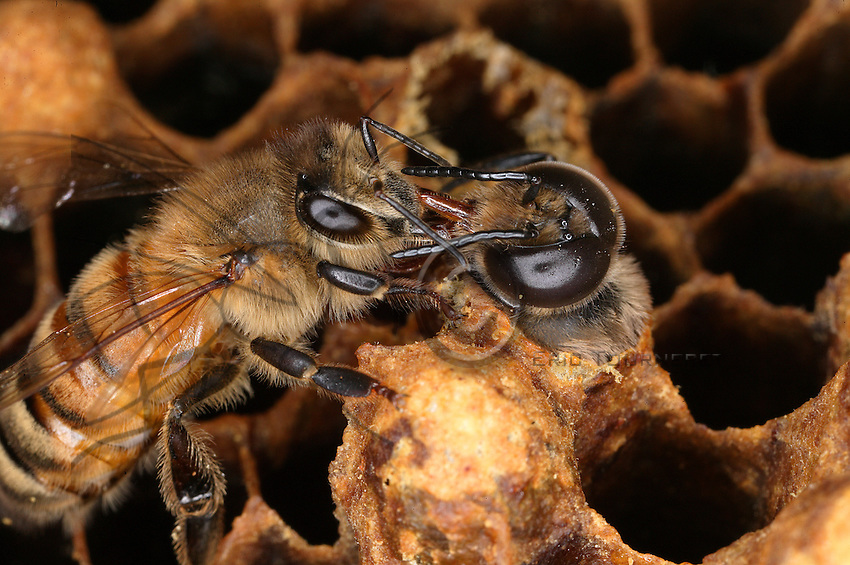 A bee greets a drone as it is being born. The bee will feed the drone directly from its mouth as the newborn is exhausted by the effort produced to come out of the cell. One can clearly see a difference in size in the faceted-eyes of the bee and drone. The worker bee's eyes have 4,500 facets each and the drone 7,500 per eye.