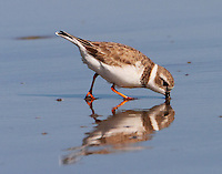 Piping plover in winter plumage plunging beak into soupy sand to capture a tasty something