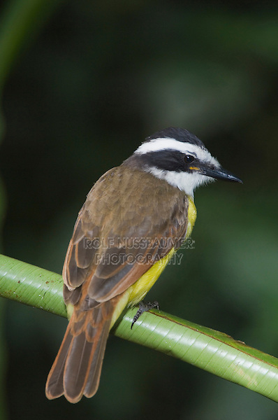 Great Kiskadee, Pitangus sulphuratus, young perched, Central Valley, Costa Rica, Central America, December 2006