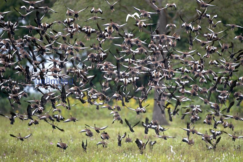 Pantanal, the world largest wetland, Brazil, South America, Pantanal, grösstes Feuchtgebiet der Erde, Brasilien, Südamerika.