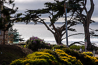 United States, California, Carmel. View towards the beach in Carmel-by-the-Sea, with old Monterey Cypress in the foreground.