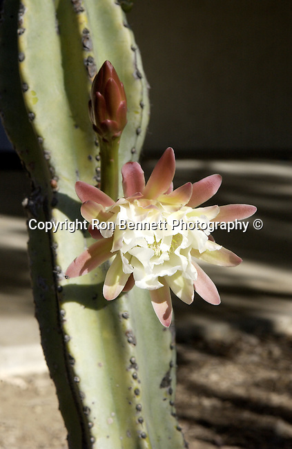 Lophocereus schotti cactus flower is an eye stoppert native cactus to Southwest slow growing usually trunkless cactus that forms numerous tall ascending columnar stems which branch at the base, Lophocereus schotti is a showy succulent plant, California Fine Art Photography by Ron Bennett, Fine Art Photography by Ron Bennett, Fine Art, Fine Art photography, Art Photography, Copyright RonBennettPhotography.com ©