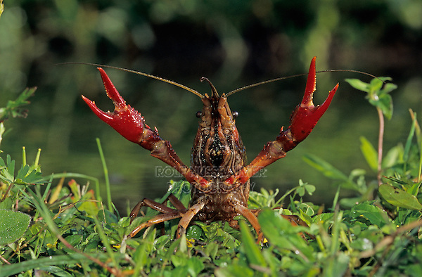 Crayfish, Crawfish,  Astacidae, adult in defensive pose, Sinton, Coastel Bend, Texas, USA