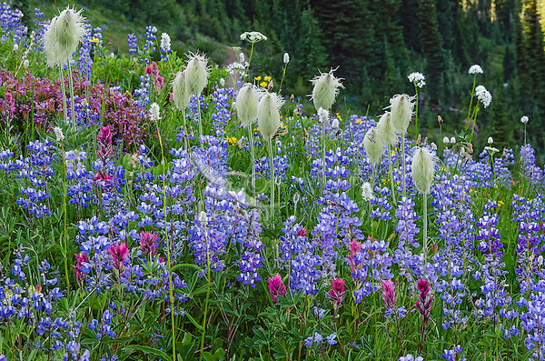 Wildflowers--lupine, arnica, paintbrush, valerian, bistort, heather and anemone or western pasqueflower--in subalpine meadow, Mount Rainier National Park, WA.  Summer.