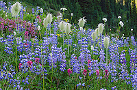 Wildflowers--lupine, arnica, paintbrush, valerian, bistort, heather and anemone or western pasqueflower--in subalpine meadow, Mount Rainier National Park, WA.  Summer.