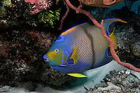 Queen Angelfish, Holacanthus ciliaris, Exumas, Bahama Islands