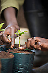 Potting up seedlings in a nursery of native tree species including those that have never been propagated before. Forest workers remove invasive trees and plant species and replant a native forest in its place. Taken as part of a documentation of the Ecological Restoration Alliance, a group of botanic gardens restoring 100 damaged habitats on six continents, this story was shot in Kenya. Here thousands of acres of forest were removed in the early 1900's for the production of mono culture crops of tea and the eucalyptus used to dry it. In just 12 years the NGO Plants for Life has restored a eucalyptus plantation into a thriving forest with over 150 bird species, a wide range of mammals and hundreds of rare and endangered tree species. Brackenhurst, Near Limaru. Kenya. before. Forest workers remove invasive trees and plant species and replant a native forest in its place. Taken as part of a documentation of the Ecological Restoration Alliance, a group of botanic gardens restoring 100 damaged habitats on six continents, this story was shot in Kenya. Here thousands of acres of forest were removed in the early 1900's for the production of mono culture crops of tea and the eucalyptus used to dry it. In just 12 years the NGO Plants for Life has restored a eucalyptus plantation into a thriving forest with over 150 bird species, a wide range of mammals and hundreds of rare and endangered tree species. Brackenhurst, Near Limaru. Kenya.