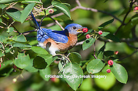 01377-17709 Eastern Bluebird (Sialia sialis) male eating berry in Serviceberry (Amelanchier canadensis) bush Marion Co. IL