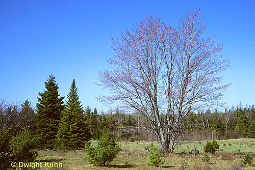 TT12-040z  Red Maple - spring, in flower - Acer rubrum