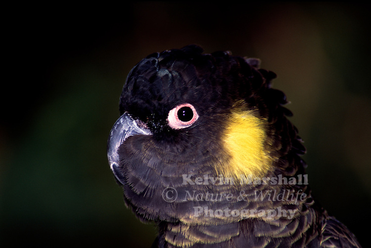 The Yellow-tailed Black Cockatoo (Calyptorhynchus funereus) is a large cockatoo native to the south-east of Australia and is the largest of the cockatoos and of Australian parrots. Two subspecies are recognised. It is identified by its brownish black plumage and body feathers edged with yellow, its yellow cheek patches and tail bands. It is found from south and central eastern Queensland to southeastern South Australia, with a critically endangered population persisting in the Eyre Peninsula. In some places at least, they appear to have adapted to humans and can be often seen in many parts of urban Sydney and Melbourne.