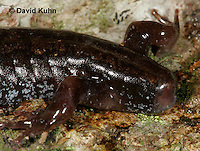 0603-0862  Mountain Dusky Salamander Close-up of Missing Tail, Desmognathus ochrophaeus  © David Kuhn/Dwight Kuhn Photography