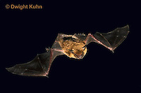 MA20-842p  Big Brown Bat flying at night, Eptesicus fuscus, Digitally manipulated background, otherwise photograph only had minor retouching