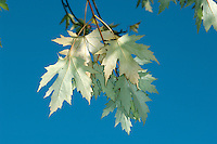 Silver Maple Acer saccharinum (Aceraceae) HEIGHT to 30m <br /> Broadly columnar tree with spreading crown; suckers freely. BARK Smooth, greyish but scaly with age. BRANCHES Numerous, slender and ascending with pendulous brownish twigs. LEAVES To 16cm long, deeply divided into 5 lobes with irregularly toothed margins, orange or red-tinted at first, green above later, but with silvery hairs below; petiole usually pink-tinged. REPRODUCTIVE PARTS Yellowish-green flowers (no petals) in small short-stalked clusters of separate sexes in<br /> spring. Green, then brown, fruits are about 6cm long, with diverging wings and prominent veins. STATUS AND DISTRIBUTION Native of E North America, planted here for ornament.