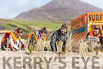 Scout groups are planting maram grass and cleaning beach  at Inch Beach.