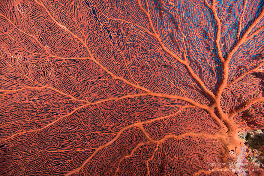 Russell Islands, Solomon Islands; a detail view of a massive, red gorgonian sea fan growing on the coral reef with dark blue water behind
