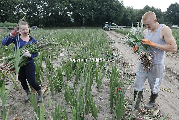 Foto: VidiPhoto<br /> <br /> HEUMEN &ndash; Dure en wellicht te weinig gladiolen voor de Nijmeegse  Vierdaagse. Oorzaak is het droge weer van de afgelopen weken en de te verwachte koude dagen deze week. Poolse medewerkers van gladiolenkweker Theo Theunissen uit Heumen zijn dinsdag gestart met de oogst van gladiolen voor de Nijmeegse Vierdaagse, maar de aantallen vallen tegen. Het grootste wandelevenement ter wereld begint aanstaande dinsdag met ruim 50.000 deelnemers en wordt voor de 101e keer gehouden. In totaal moet Theunissen zo&rsquo;n 300.000 stuks gladiolen in zes verschillende kleuren leveren. Die worden traditioneel op de slotdag uitgereikt op Via Gladiola. De gladiool staat symbool voor overwinning, bewondering, trots en kracht. De totale oogst bij Theunissen dit jaar is zo&rsquo;n 3 miljoen stelen. De Heumense kweker is hofleverancier voor de Vierdaagse. In Nederland zijn 70 gladiolenkwekers actief. Zo&rsquo;n 90 procent van de gladiolen die in Nederland geteeld wordt, is bestemd voor het buitenland.