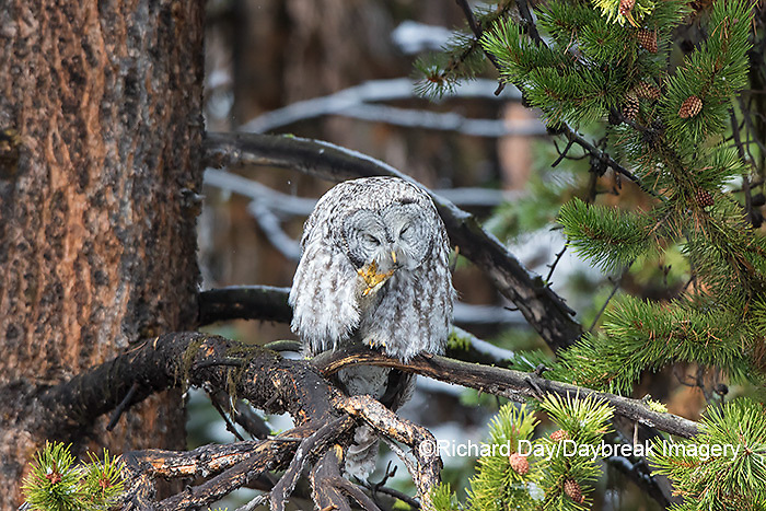 01128-00213 Great Gray Owl (Strix nebulosa) preening, Yellowstone National Park, WY