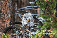 01128-00213 Great Gray Owl (Strix nebulosa) preening, Yellowstone National Park, WY
