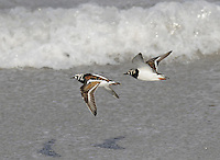 Turnstone Arenaria interpres L 23cm. Pugnacious wader with stout, triangular bill, used to turn stones in search of invertebrates. Feeds unobtrusively. All birds have reddish orange legs and black and white wing pattern in flight. Sexes are similar. Adult has orange-red on back, white underparts and bold black and white markings on head. Males have brighter back colours than females and more distinct black head markings. Winter adult has grey-brown upperparts, the head and neck. Breast is marked with blackish band that shows a clear demarcation from white underparts. Juvenile is similar to winter adult but upperparts are paler and back feathers have pale fringes. Voice Utters a rolling tuk-ut-ut in flight. Status Non-breeding visitor to coasts. Widespread and common.