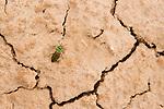 Gound Beetle (Carabus sp) on cracked mud, Pikertyk, Tien Shan Mountains, eastern Kyrgyzstan