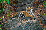 With the heat of the day rising and the monsoon season still weeks away, a female tigress waits out the extreme temperature, topping 115 degrees, in the relative cool of the forests.