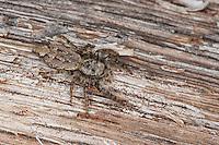 Große Rindenspringspinne, Rinden-Springspinne, Springspinne, Tarnung, gut getarnt, Marpissa muscosa, Marpissa rumpfii, Springspinnen, Salticidae, jumping spider, jumping spiders