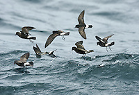 European Storm-petrel - Hydrobates pelagicus