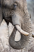 African bush elephant, Loxodonta africana, feeding on bushes, Hlane Royal National Park, Eswatini, Swaziland, Africa