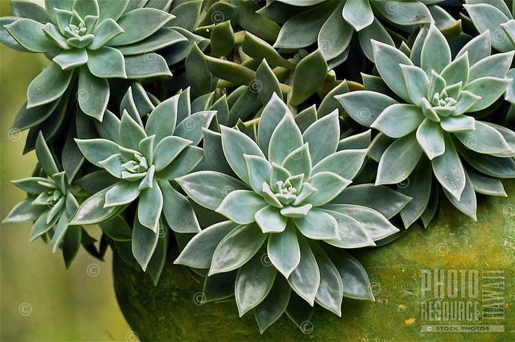 A beautiful succulent rose plant (or Aeonium 'Silver Edge') with tapered leaves that form rosettes flows over and out of a big moss-green pot in a residential garden in Volcano, Big Island.